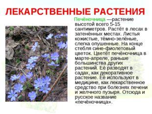 ЛЕКАРСТВЕННЫЕ РАСТЕНИЯ Печёночница —растение высотой всего 5-15 сантиметров.