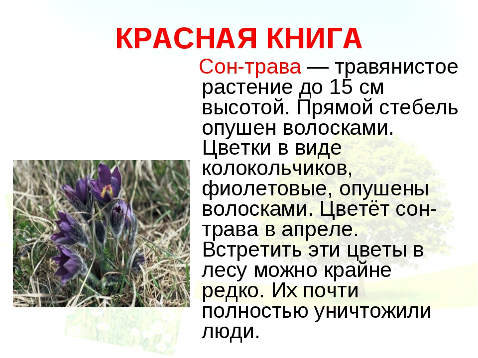КРАСНАЯ КНИГА Сон-трава — травянистое растение до 15 см высотой. Прямой стебе...