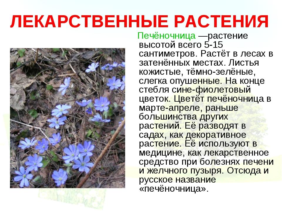 ЛЕКАРСТВЕННЫЕ РАСТЕНИЯ Печёночница —растение высотой всего 5-15 сантиметров....