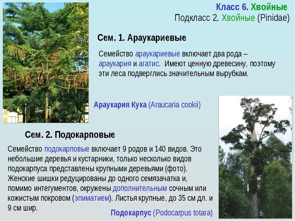 Араукариевые — Википедия