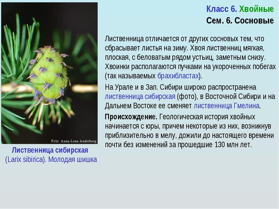 Урок + презентация по биологии для 6 класса по теме отдел голосеменные