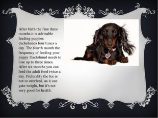 After birth the first three months it is advisable feeding puppies dachshunds