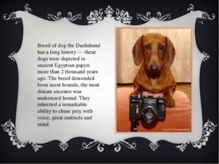 Breed of dog the Dachshund has a long history — these dogs were depicted in a