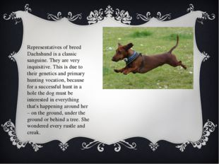 Representatives of breed Dachshund is a classic sanguine. They are very inqui