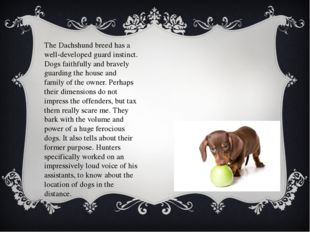 The Dachshund breed has a well-developed guard instinct. Dogs faithfully and