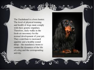 The Dachshund is a born hunter. The level of physical training and health of