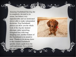 Amazing Dachshund fun dog she is completely devoted to its owner, but behave