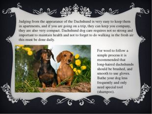 Judging from the appearance of the Dachshund is very easy to keep them in apa
