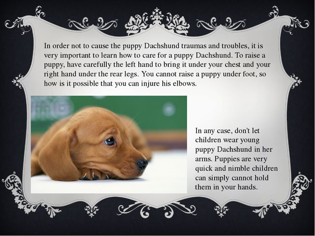 In order not to cause the puppy Dachshund traumas and troubles, it is very im...