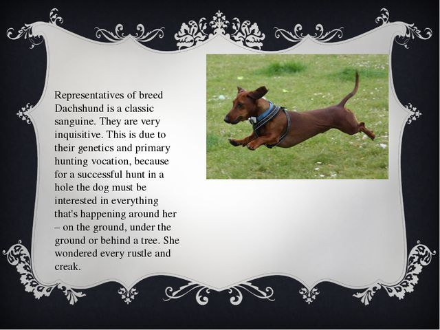 Representatives of breed Dachshund is a classic sanguine. They are very inqui...
