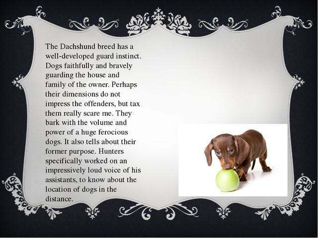 The Dachshund breed has a well-developed guard instinct. Dogs faithfully and...