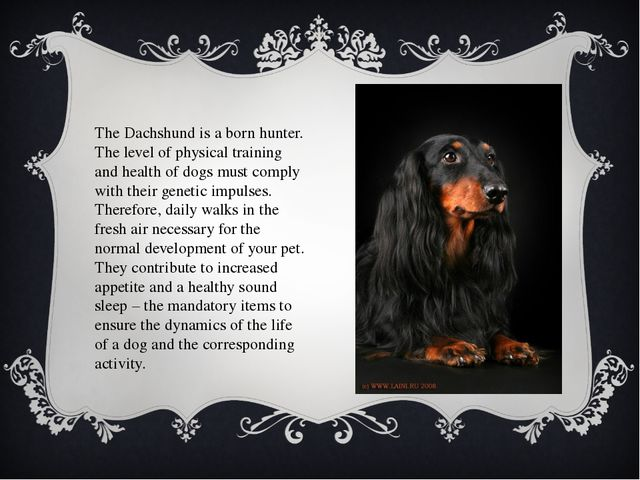 The Dachshund is a born hunter. The level of physical training and health of...