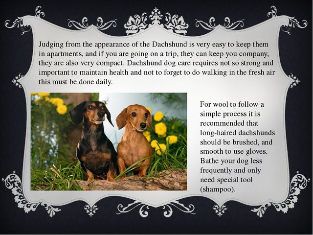 Judging from the appearance of the Dachshund is very easy to keep them in apa...