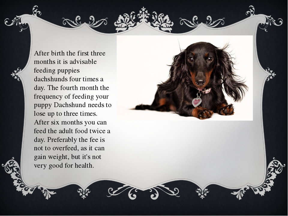 After birth the first three months it is advisable feeding puppies dachshunds...