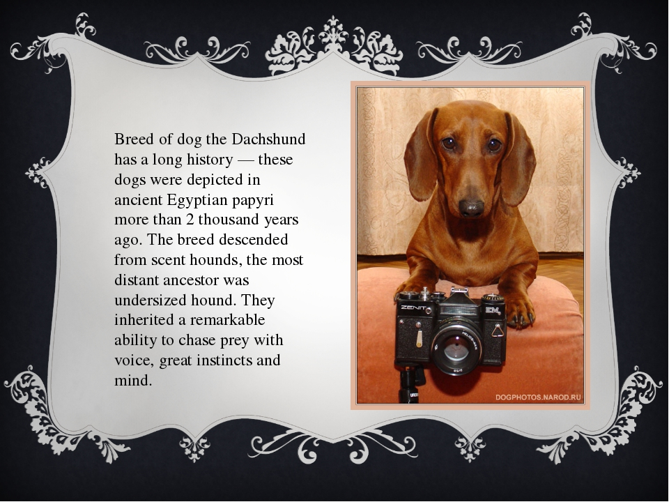 Breed of dog the Dachshund has a long history — these dogs were depicted in a...
