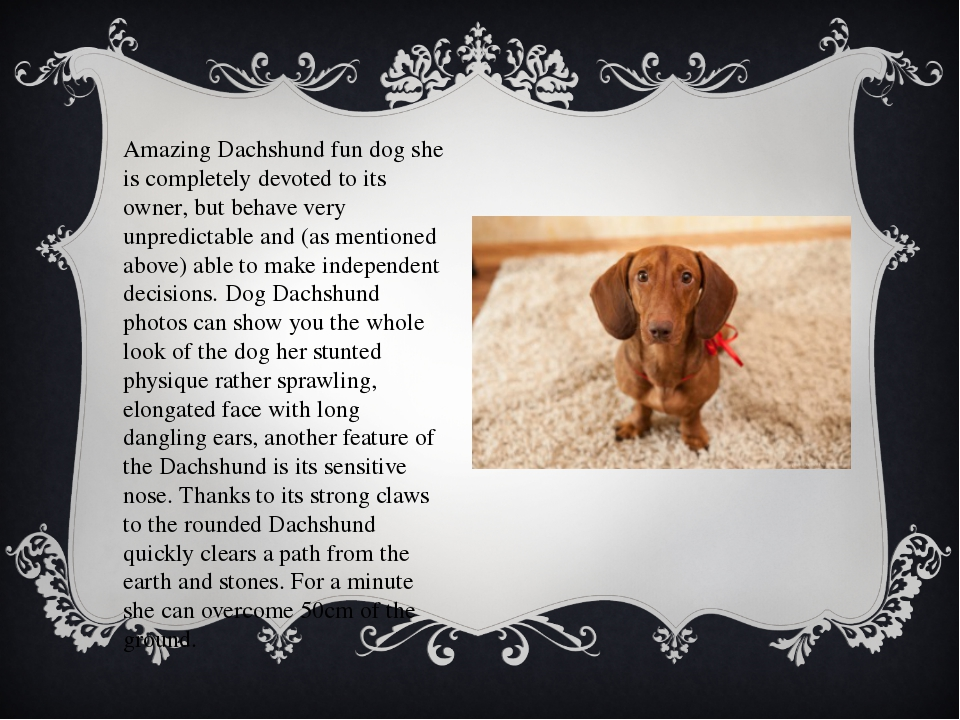 Amazing Dachshund fun dog she is completely devoted to its owner, but behave...