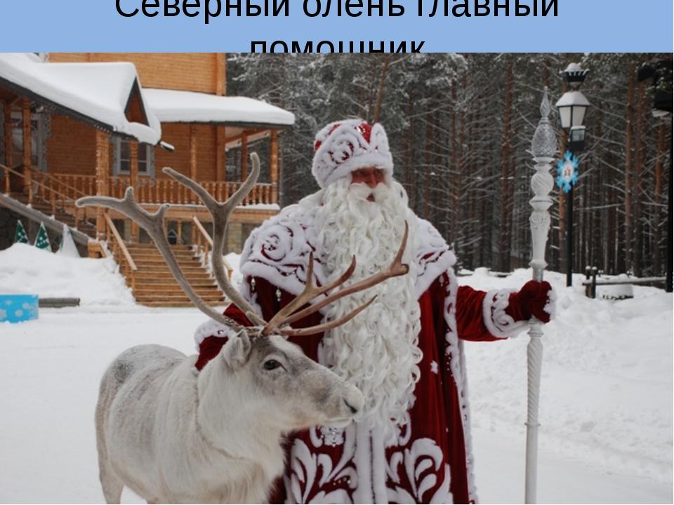 Северный олень главный помощник