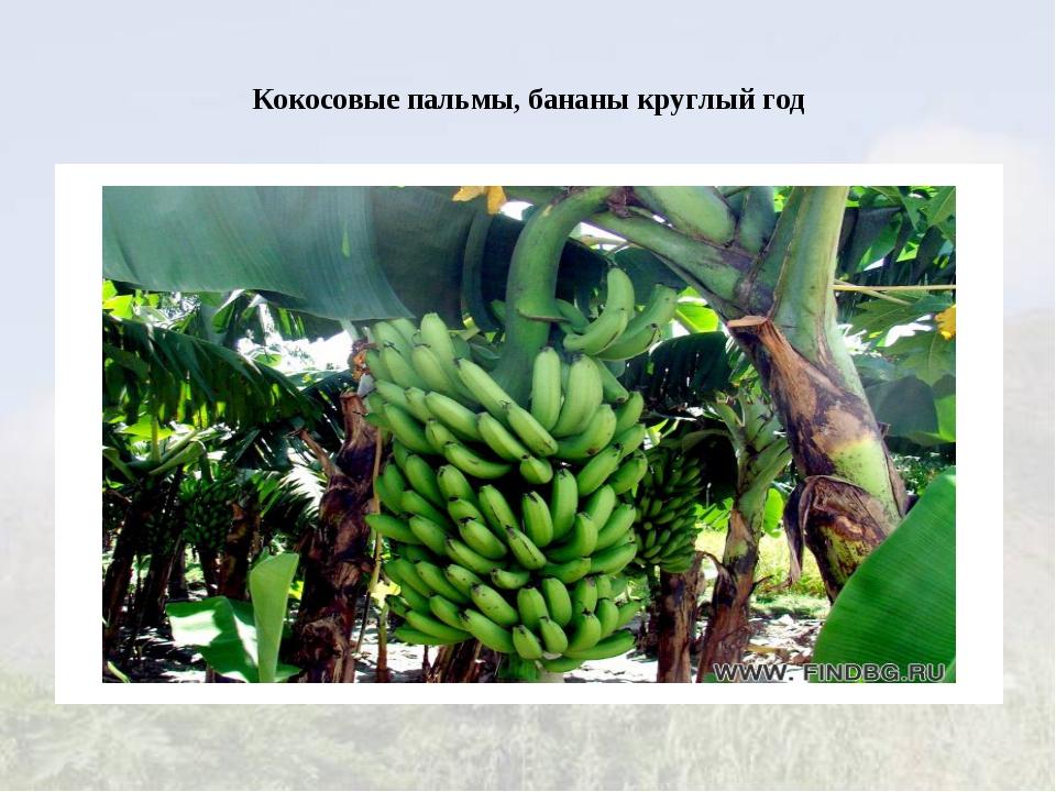Кокосовые пальмы, бананы круглый год