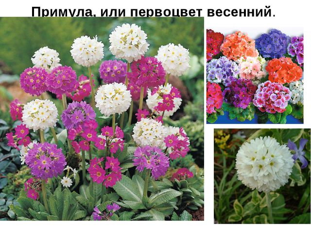 Примула, или первоцвет весенний.