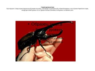 Самый длинный жук Жук-геркулес Самцы жуков-геркулесов (Dynastes hercules), о