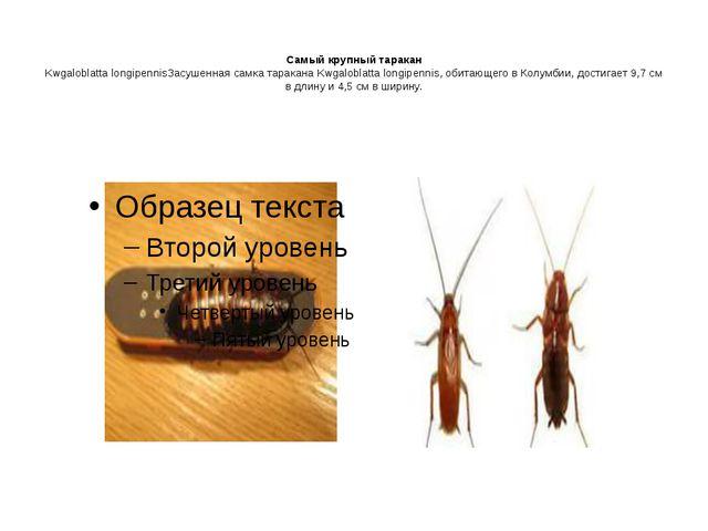 Самый крупный таракан Kwgaloblatta longipennisЗасушенная самка таракана Kwga...