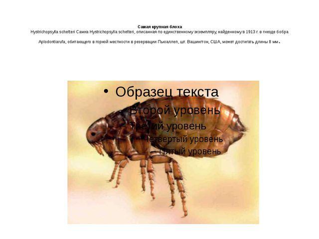 Самая крупная блоха Hystrichopsylla schetteri Самка Hystrichopsylla schetter...