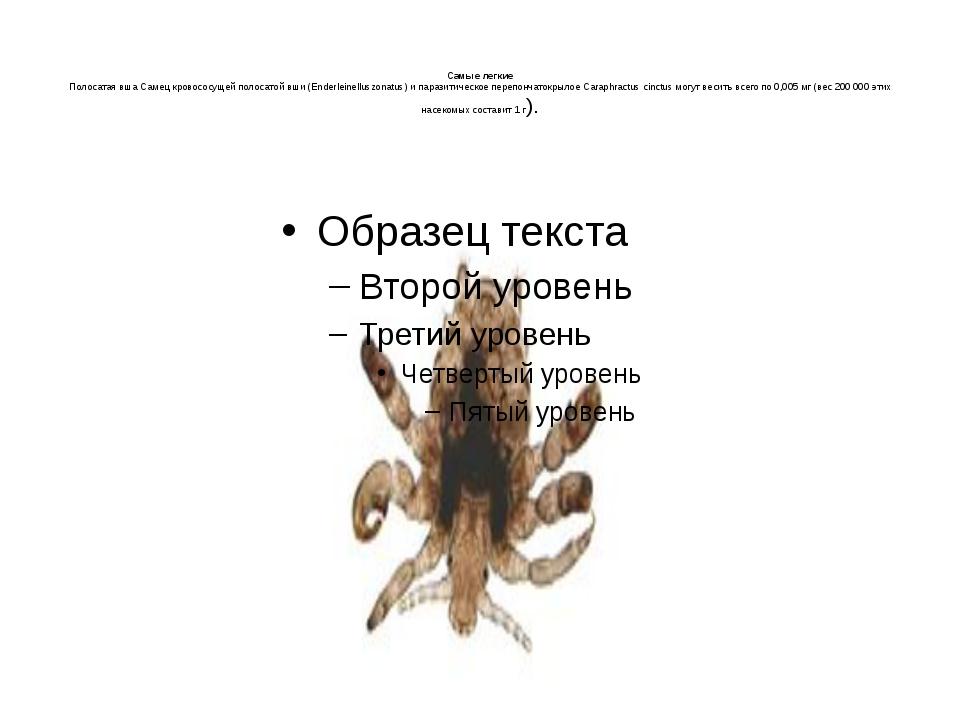 Самые легкие Полосатая вша Самец кровососущей полосатой вши (Enderleinellusz...