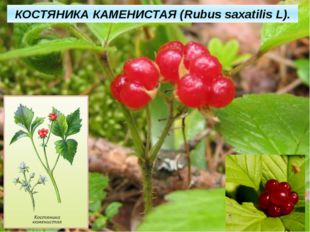 КОСТЯНИКА КАМЕНИСТАЯ (Rubus saxatilis L).