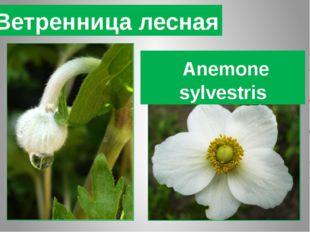 Ветренница лесная Anemone sylvestris