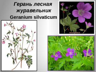 Герань лесная журавельник Geranium silvaticum