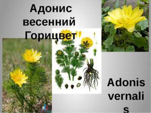 Адонис весенний Горицвет Adonis vernalis