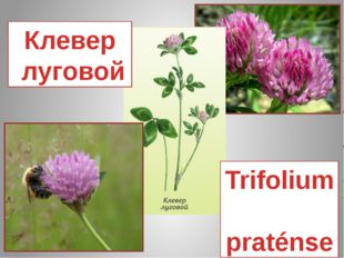 Клевер луговой Trifolium praténse