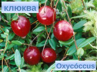 клюква Oxycóccus