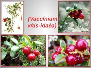 Брусни́ка (Vaccínium vítis-idaéa)