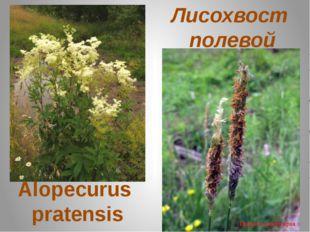 Лисохвост полевой Alopecurus pratensis