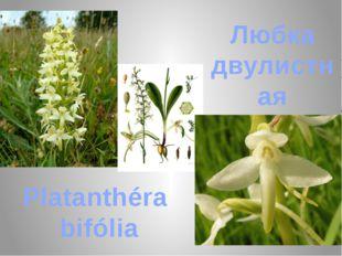 Любка двулистная Platanthéra bifólia