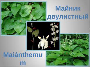 Майник двулистный Maiánthemum bifólium
