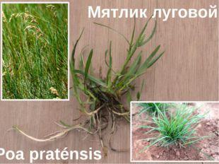 Мятлик луговой Poa praténsis