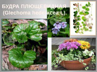 БУДРА ПЛЮЩЕВИДНАЯ (Glechoma hederacea L).