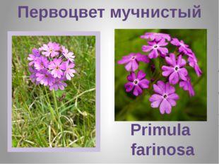 Первоцвет мучнистый Primula farinosa