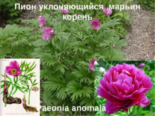 Пион уклоняющийся марьин корень Paeonia anomala