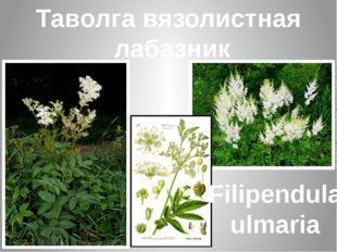 Таволга вязолистная лабазник Filipendula ulmaria