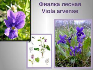 Фиалка лесная Viola arvense