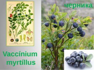 черника Vaccínium myrtíllus