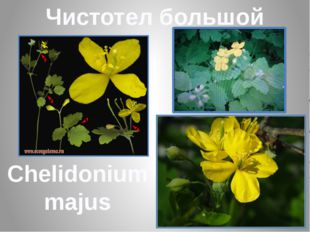 Чистотел большой Chelidonium majus