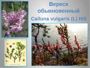 Вереск обыкновенный Calluna vulgaris (L) Hill