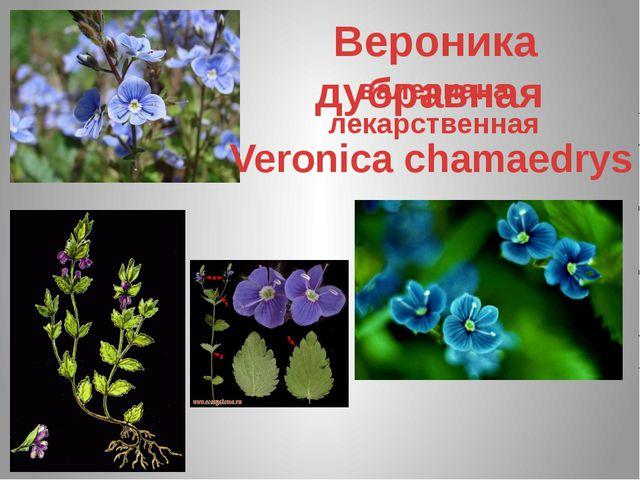 валериана лекарственная Вероника дубравная Veronica chamaedrys
