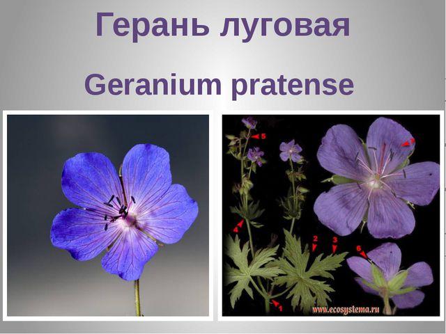 Герань луговая Geranium pratense