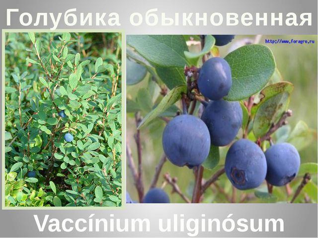 Голубика обыкновенная Vaccínium uliginósum