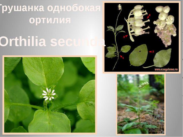 Грушанка однобокая ортилия Orthilia secunda